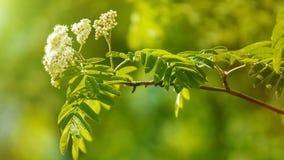 Rawanbloemen Stock Afbeeldingen