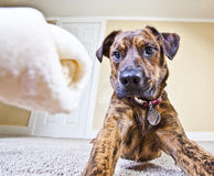 A rawhide bone has the puppy's full attention Stock Photos