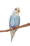 Rawinbow budgerigar on white Stock Photo