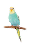 Rawinbow budgerigar on white Royalty Free Stock Images