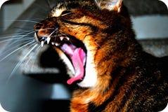 Rawr del gatto Fotografie Stock Libere da Diritti