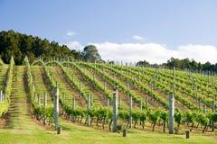 Raws of grape vines at vineyard
