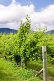Raws of grape vines at vineyard. Vineyard in Marlborough, New Zealand royalty free stock images