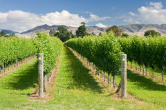 Raws of grape vines at vineyard Royalty Free Stock Photography