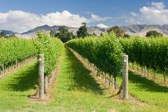 Raws of grape vines at vineyard Royalty Free Stock Photography