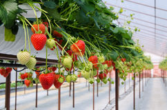 Raws of Strawberries Royalty Free Stock Photo