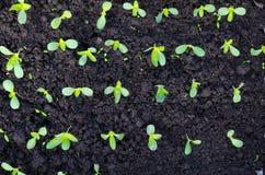 Raws van jonge planten op aanplanting in de vroege lente Royalty-vrije Stock Fotografie
