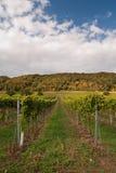 Raws van wijngaard Stock Fotografie