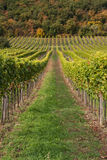 Raws of vineyard Stock Photography