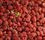 Rawspberry Fotografia Stock