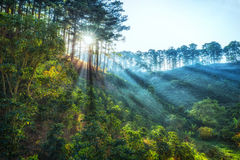 Ray światło słoneczne wcześnie w sosnowym lasowym Dalat zdjęcie stock