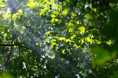 Ray światło w drzewnych liściach Fotografia Stock