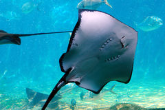 Ray. A ray swimming in the water royalty free stock photography