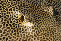 Ray. Detail of fresh hunted ray prepared for selling Royalty Free Stock Photo