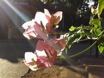 Ray av ljus gör blomman att blomma Royaltyfri Bild