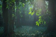 Ray av solljus i fe-svans skog fotografering för bildbyråer
