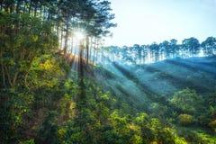 Ray av solsken tidigt i pinjeskogen Dalat Arkivfoto