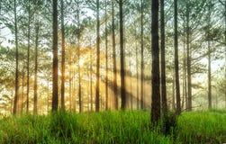 Ray de luz do sol em uma floresta do pinho no Lat da Dinamarca Fotografia de Stock Royalty Free