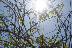 Ray del sol a través de un árbol de Guyabano imágenes de archivo libres de regalías