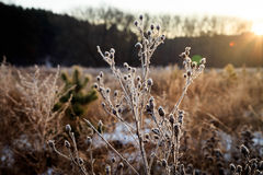Ray field in the dawn of winter sun. A plant in frost in the sun on the meadow Stock Image