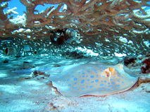 Ray fish. And coral reef in Red sea, Africa Stock Images