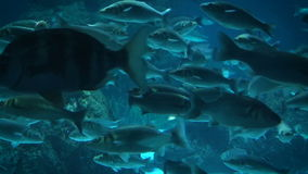 Ray and fishes in the aquarium of Barcelona, Spain stock video footage