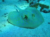 Ray fisk Fotografering för Bildbyråer