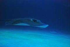 Ray i Oceanograficen i Valencia, Spanien Fotografering för Bildbyråer