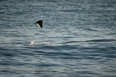 Ray Jumping Out of Water in San Jose Del Cabo royalty free stock photos