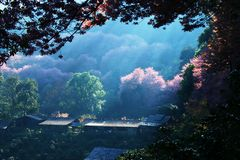 Cherry Blossom Chiang Mai royalty free stock images