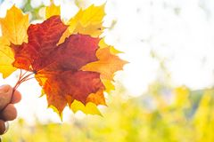 Ray of light through maple leaves. Autumn background, bright colors of autumn