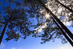 Ray of light penetrate through pine tree Stock Image
