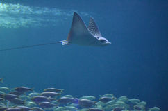 Ray with a Long Tail Swimming Above Schooling Fish Stock Photo
