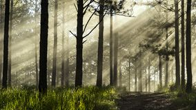 Ray in the pine wood. At Dalat city, Vietnam Stock Photo