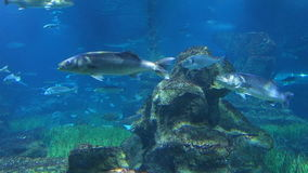 Ray, sharks and several other fishes in the aquarium of Barcelona, Spain stock video footage