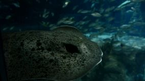 Ray or Skate Floating in Aquarium. Underwater background. Ray or Skate Floating in Aquarium, Fish Tank stock footage