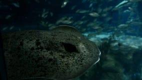 Ray or Skate Floating in Aquarium stock footage