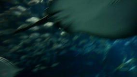 Ray or Skate Floating in Aquarium. Underwater background. Ray or Skate Floating in Aquarium, Fish Tank stock video footage