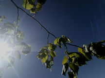Ray of sun through leaves. The spring sun warmed the branch with its warmth Royalty Free Stock Image