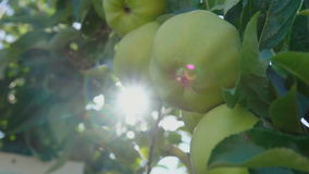 Ray of sun shining through branch of apples. Ray of sun shining through branch of ripe apples stock footage
