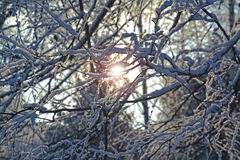 A ray of sunlight through the branches of trees in winter. Winter Snow The branches of trees Frost Sun beam Nature Frost White Blue Brilliant Beautiful Cold Stock Images