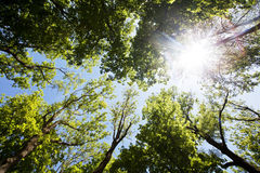 A ray of sunlight in the trees. Sunny day in the forest. Blue sky and the sun in the leaves of trees Royalty Free Stock Photos