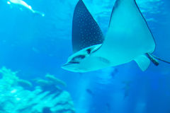 Ray swimming in an aquarium Royalty Free Stock Photos
