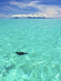 Ray swimming in blue lagoon Royalty Free Stock Photos