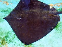 Ray swimming shallow water. Large ray or skate swimming in shallow tropical water. Superorder: Batoidea stock photos