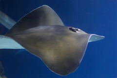 Ray Swimming. In the water royalty free stock image