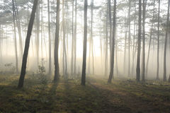 Ray, tree, fog and sunlight. In morning in forest stock photography