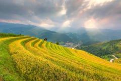 Ray van lichte en Mooie aardpadievelden op terrasvormig van Vietnam De padievelden bereiden de oogst in Noordwestenvietnam voor Stock Afbeeldingen