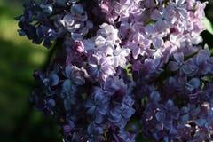 Ray van zon op een bloeiende tak van sering Stock Foto's
