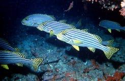 Raya de los pescados Fotografía de archivo